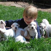 Pointer-puppies-boy