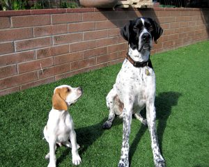 Pointer adult and puppy