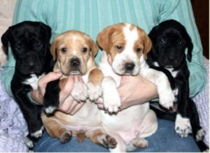 Six Week Pointer Puppies